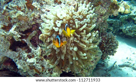 Clark's anemonefish or the Yellowtail clownfish (Amphiprion clarkii)