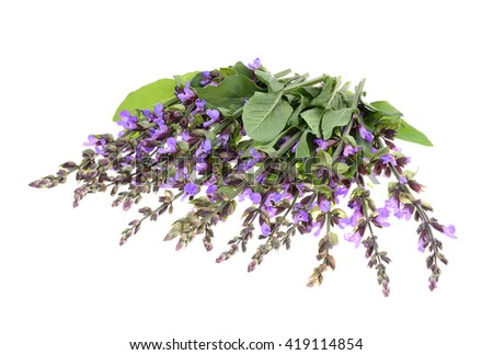 Clary Sage (Salvia sclarea) isolated on white background