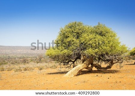 Classic tree in Botswana, Africa in the rural areas - stock photo