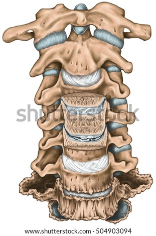 transverse processes stock images, royalty-free images & vectors, Sphenoid