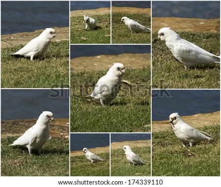 Classy collage of a cheeky blue eyed  white Australian corella Licmetis  a subgenus of the white cockatoos (genus Cacatua)  eating the grassy tips of weeds in the park on a sunny day in mid summer. - stock photo
