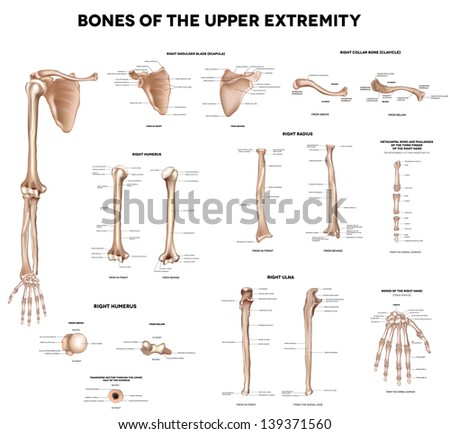 Clavicle (collar bone), scapula (shoulder blade), humerus, ulna, radius, finger and hand. Detailed medical illustrations. Latin medical terms. Isolated on a white background. - stock photo