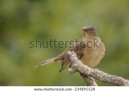Clay-colored Thrush perched on a branch in Costa Rica. - stock photo