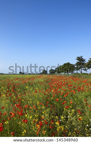 clear blue sky over red poppies and yellow canola flowers in a summer landscape - stock photo