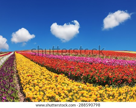Clear sunny spring day in southern Israel. Huge fields of buttercups garden are ripe for harvest - stock photo