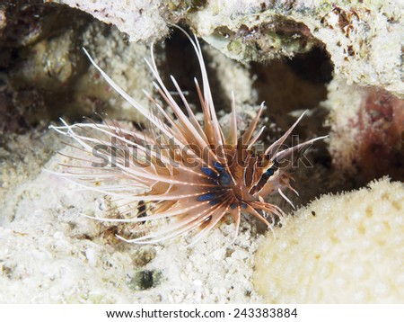 Clearfin lionfish in red sea - stock photo