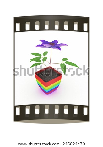 Clematis a beautiful flower in the colorful pot. The film strip - stock photo