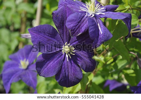 clematis botanical stock images royalty free images vectors shutterstock. Black Bedroom Furniture Sets. Home Design Ideas