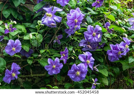clematis. Beautiful purple flowers of clematis over old gardenw all - stock photo