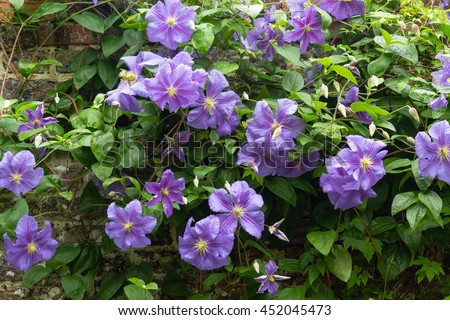 clematis. Beautiful purple flowers of clematis over old gardenw all
