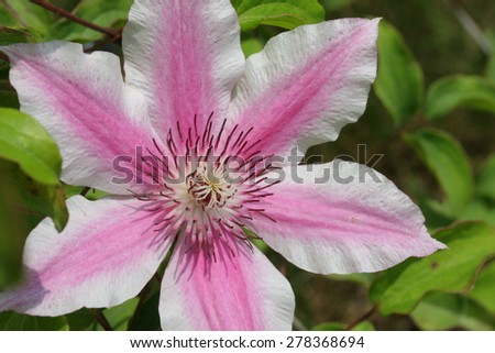 Clematis Bees Jubilee, flower closeup, pink, white, green color scheme - stock photo