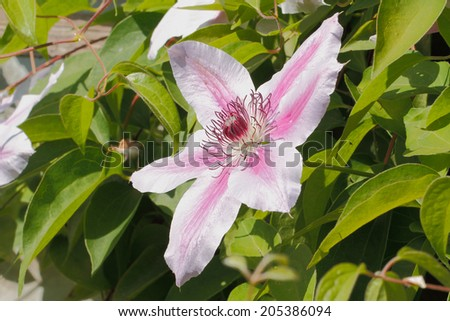 Clematis bloom in summer in a garden - stock photo