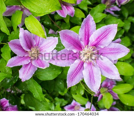 clematis blooming flowers covered with water drops on a background of green leaves - stock photo