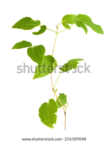 clematis branch isolated on white background  - stock photo