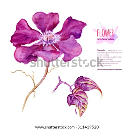 Clematis, Clematis Jackmanii, botanical painting, hand painted watercolor flower and leaves isolated on white, raster illustration - stock photo