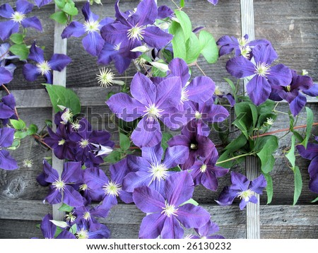 Clematis clinging to aged wooden trellis - stock photo