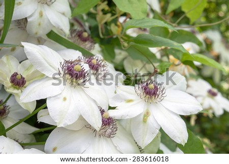 Clematis flowers. Clematis bush - stock photo