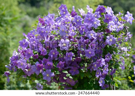 Clematis flowers in a garden - stock photo