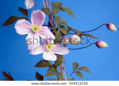 Clematis-Hybride montana - stock photo