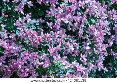 Clematis in Flower - stock photo