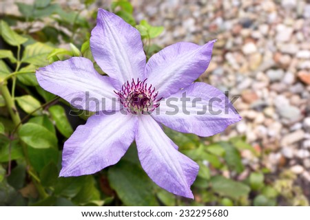 Clematis is a genus of about 300 species within the buttercup family Ranunculaceae. They are popular among gardeners with more cultivars being produced constantly. - stock photo