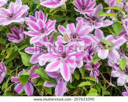 Clematis lanuginosa is a flowering vine of the genus Clematis endemic to Zhejiang province in eastern China. - stock photo