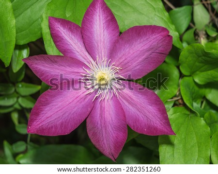 Clematis 'Pink Champagne' has vivid purple-red or deep pink flowers with a paler mauve central bar and contrasting, creamy-yellow anthers. - stock photo
