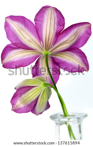 Clematis pink flower close-up on white background