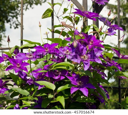 Clematis President purple flowers on the lattice, summer beautiful background - stock photo