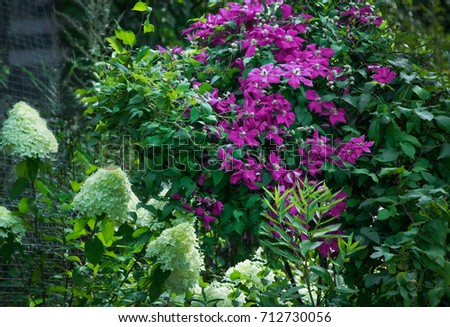 Clematis vine pink flowers climbing on stock photo royalty free clematis vine with pink flowers climbing on support trellis with hydrangea paniculata mightylinksfo