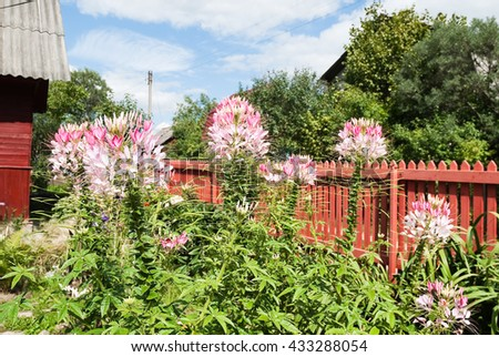 Cleome hassleriana (Cleome spinosa) or spider flower on the garden