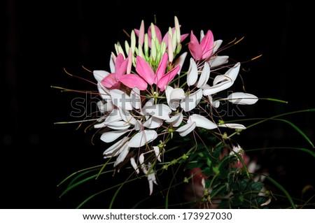 Cleome hassleriana (Spider flower) isolated on dark background - stock photo