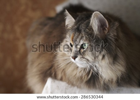 Cleopatra, a siberian female cat, and her beautiful green eyes.