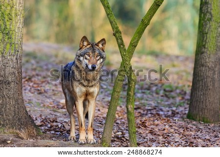 clever Eurasian wolf  - stock photo