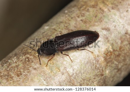 Click beetle, Hypoganus inunctus on hazel, macro photo