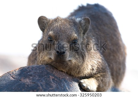 Cliff Hyrax on rock. Seen during safari tour at Namibia, Africa.