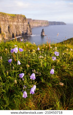Cliffs Of Moher with Harebell, wild irish bell-shaped  flowers. - stock photo