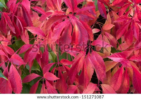 Climber in autumn with red leaves.