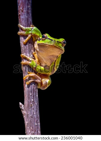 Climbing European tree frog (Hyla arborea) isolated on black background - stock photo