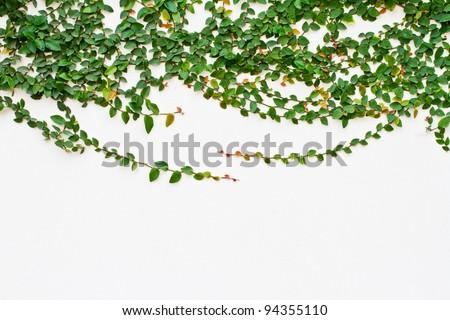 Climbing fig, Creeping fig, Creeping rubber plant - stock photo
