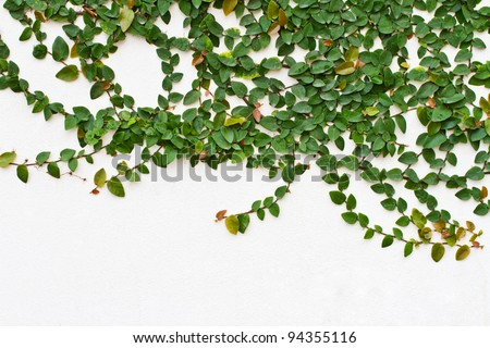 Climbing fig, Creeping fig, Creeping rubber plant - stock photo