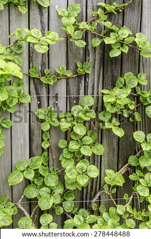 Climbing hydrangea (binomial name: Hydrangea anomala ssp. petiolaris 'Mirranda'), with raindrops, trained in spring garden. This subspecies of vine is native to China, South Korea, Japan, and Siberia. - stock photo
