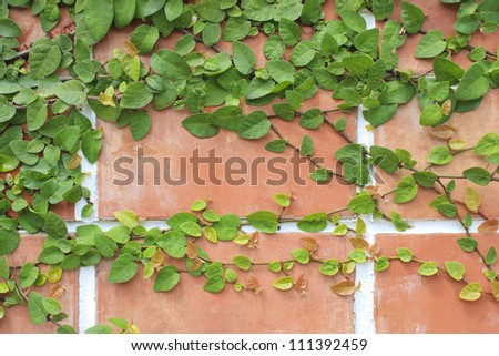 Climbing ivy on brickwall.