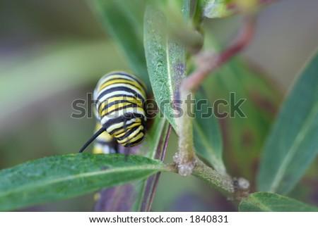 climbing monarch butterfly - stock photo