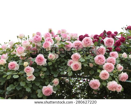 Climbing pink roses in garden  - stock photo