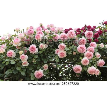 Climbing Pink Roses In Garden