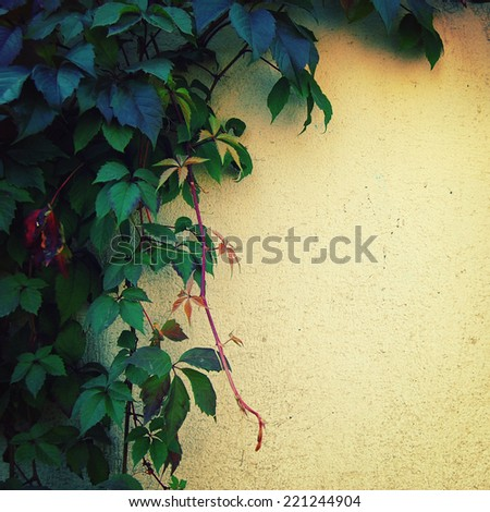Climbing plant on the yellow wall - toned image. Place for text.  Green autumn leaves on the fence - vintage effect. Parthenocissus or Virginia creeper background in autumn season - retro photo. - stock photo