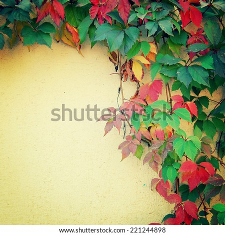 Climbing plant on the yellow wall - toned image. Place for text.  Red and green autumn leaves on the fence - vintage effect. Parthenocissus, Virginia creeper background in autumn season - retro photo. - stock photo