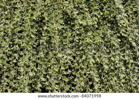 Climbing vines plant background stock photo 84071998 shutterstock climbing vines plant background publicscrutiny Choice Image