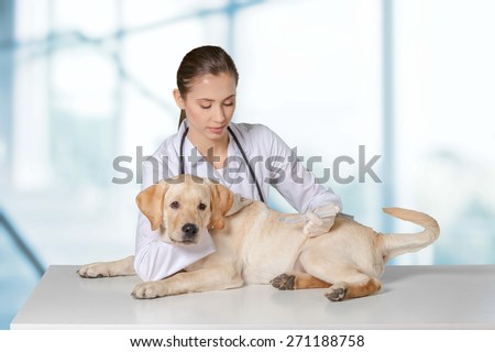Clinic. Cute white small dog gets a special syringe vet microchipping mandatory for eu pets in the veterinary clinic - stock photo